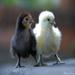 『小雞雞』by --kevin--