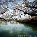 櫻。悸動。日本關西 by Arvid67