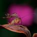 美麗又傲氣的蠍蛉  by awei-750
