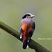 銀胸絲冠鳥 by -carlos