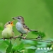 卡哇伊的棕扇雛鳥 by 挑夫wfm