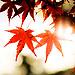秋意濃 。京都紅 by 費雪F