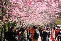2014武陵櫻花祭