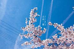 京都 & 大阪櫻花