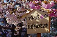 大阪造幣局.花見八重櫻